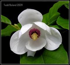 Magnolia sieboldii (Todd Boland) Tags: flowers magnolia magnoliaceae masterphotos