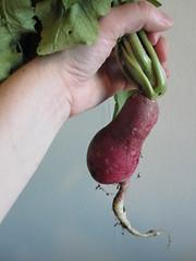 Monster Radish (solteronita) Tags: garden pointandshoot radish