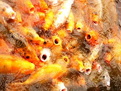 have you ever fed the fish? (Luca Pedrotti) Tags: color nature water crowd feed fishes redfishes