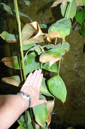 ceratozamia euryphyllidia2