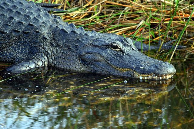 Alligator-3.JPG