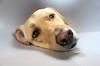 "Mr. Pitiful (D.Reichardt) Tags: portrait dog animal germany eyes europe labrador vet poor veterinarian pitiful greatphotographers stubben ""flickraward"" mygearandme mygearandmepremium mygearandmebronze"