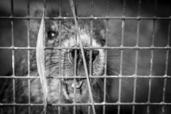bits and bytes (Munich DX) Tags: bw white black animal animals munich mnchen zoo tiere rat teeth sw tierpark ratte sonne weiss schwarz tier zhne hellabrunn d5200