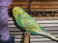 Zoah (InThePinc) Tags: bird budgie zoah