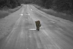 leopardocolor (1981fran) Tags: color fauna leopardo exteriores sudafrica