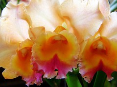3 beauties (✿ Graça Vargas ✿) Tags: orchid flower macro explore cattleya orquídea interestingness126 i500 graçavargas ©2008graçavargasallrightsreserved 46911031011