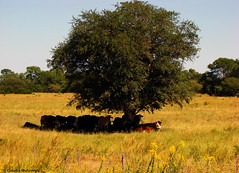 In the shade / A la sombra (Claudio.Ar) Tags: fab naturaleza color tree nature argentina topf50 cattle cows sony sombra shade rbol ganado chaco dsc pampa vacas h9 naturesfinest blueribbonwinner bej abigfave crystalaward diamondclassphotographer flickrdiamond goldsealofquality betterthangood theperfectphotographer landscapesofvillagesandfields multimegashot sognidreams photoexel obq claudioar claudiomufarrege goldenart naturescreations phvalue artofimages magisterartium imagesforthelittleprince artofatmosphere mmmilikeit expressyourselfaward newgoldenseal