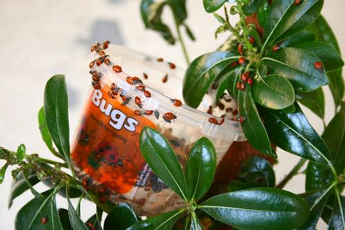 ladybug convention
