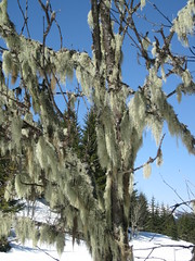 Usnea lichen on tree above Verchaix (Gerald Davison) Tags: winter france alps snowshoe snowshoeing lichen usnea verchaix
