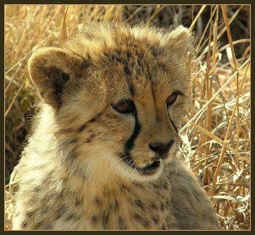 Cheetah Cub living in the Sanctuary