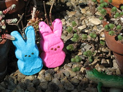 Peepalopes in Natural Habitat (trailerfullofpix) Tags: pink blue cactus southwest bunny bunnies easter geotagged soft candy desert natural pair shy marshmallow mating rabbits peeps habitat flickrcolors flickrcolours geo:lon=72572165 peepsinperil peepalope peepalopes geo:lat=42257164