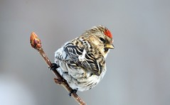 Aunutittlingur (Carduelis flammea) (orgils Sig.) Tags: fab winner birdwatcher voicesinthewilderness supershot addictedtoflickr flickrsbest physis bej specanimal spectacularanimals golddragon wingedwonders animalkingdomelite beautifulbirds worldbest specanimalphotooftheday ultimateshot avianexcellence excellenceinavianphotography flickrdiamond mycameraneverlies citritbestofyours farandawaythebest theunforgettablepictures oohsnap amazingamateurphotographer shiningstar photossansfrontires rubyphotographer photosofqualitytosmile damniwishidtakenthat allthosebirds makesmybonessing wingedwonderselite goldenheartaward ultimate~brilliant~eye~jewels dragondaggerphoto newenvyofflickr dragonflyawards zuzkasfaves genieslight naturesbestphotographyflickrcontest papascave bestofdamniwishidtakenthat latinumwildlife louisasbirdgallery