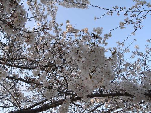 2009年-桜@明日香村-11
