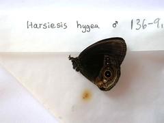 Harsiesis hygea