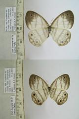 Euptychia spn15