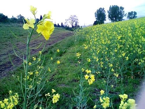 小千谷山本山の菜の花畑