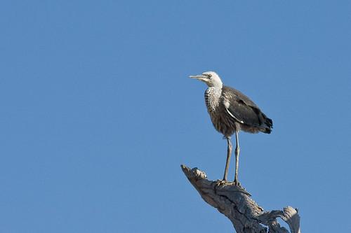 Juvenile White-necked Heron
