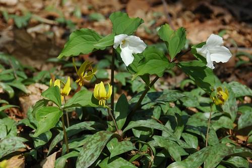 Erythronium americanum and Trillium grandiflorum