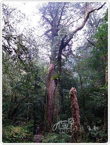 司馬庫斯巨木 (12)
