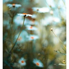 mondaisy comes round again (harold.lloyd) Tags: blue flower green yellow daisies bokeh daisy notreally asters 50mmf14 mondayblues mmmyay happymondyay daisyweek mondaisy daisery from4tonowhereinacoupleofhours ehsfd replacedwithsometeenywhitebordersbecausethesfdwontfpitunlessitssqaureorclosertolandscape