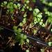 Basil Seedlings 5-6-09 IMG_3567