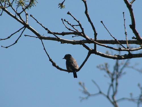 Bluebird at Chain O' Lakes