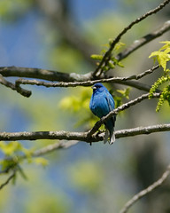 Indigo Bunting  (Raymond Burr in Bird Form) (jbobbe) Tags: bird nature birds outdoors illinois wildlife arboretum morton lisle