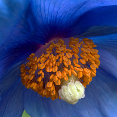 The Golden Tones of the Blues (ecstaticist) Tags: blue canada flower macro tourism nature beauty gardens vancouver photoshop canon island gold style columbia tourist petal stamen poppy destination british tibetan butchartgardens stigma hdr butchart himalayan neatimage photomatix tonemapped tonemapping g10