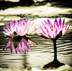 Water lily (ddsnet) Tags: plants plant flower water waterlily lily sony hsinchu taiwan 350 aquatic   aquaticplants        sinpu hsinpu  lily water  quotwater tetragona water lightroompresets    lilyquot 350 lily plantsquot  nymphaeatetragona waterlilyaquatic    nymphaea plants nymphaeatetragon quotaquatic quotnymphaea tetragonaquot aquatic nymphaea tetragona plantsnymphaea tetragona