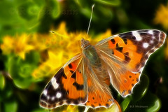 Painted Lady Butterfly Fractal. (Rosemarie.s.w) Tags: summer colour macro nature beauty yellow lady canon paintshop painted wildlife ngc may butterflies insects fractal 2009 paintedlady corel orenge butterflly redfields eos450d gardenvisitor theunforgettablepictures fractalius rebelsxi
