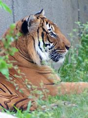 UPKO POGUN LOMUNU BRANCH: Singa Borneo vs Harimau Malaya