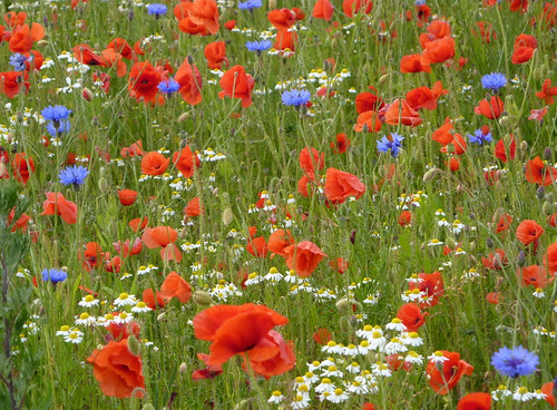 Red, white and blue - an English meadow