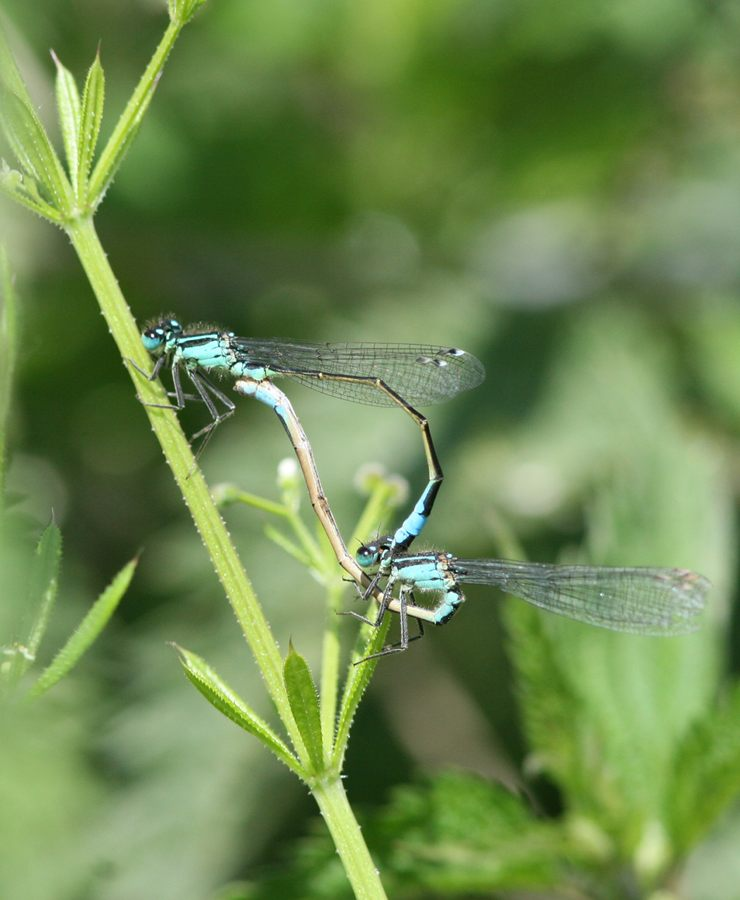 Blue-tailed Damselflies mating