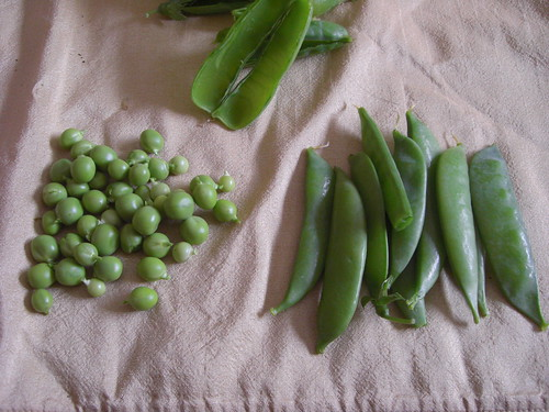 6-23-09 Todays Harvest