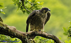 YOUNG PEREGRINE FALCON (spw6156) Tags: copyright lens hand steve mm 500 held nationaltrust raptors waterhouse plymbridge cannquarry spw6156 stevewaterhouse plymperegrineproject plymbridgeperegrinefalcons copyrightstevewaterhouse