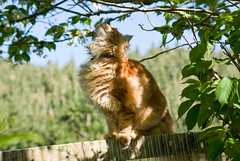 _IGP4718 (zkarj) Tags: red maine snickers coon