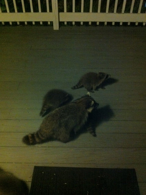 Raccoon family on our porch!