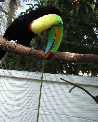 parrot training, toucans, training toucans