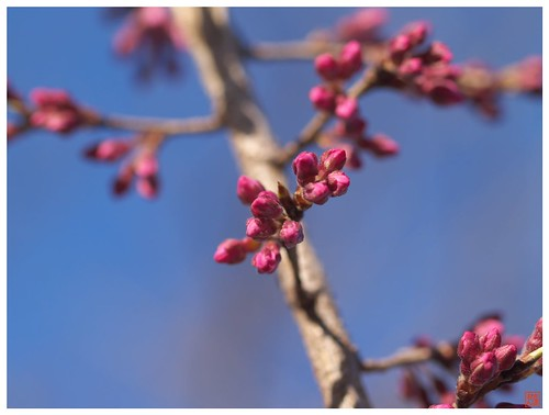 Cherry blossoms 090316 #01