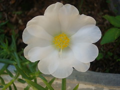 give peace a chance ! (OJ Ximenes) Tags: white plant flower nature peace chance botany onzehoras portulacagrandiflora