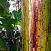 Bananna Tree