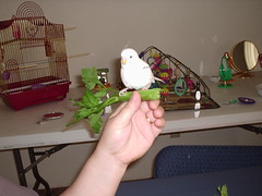 Birdy7-9 (Jewgirl952) Tags: memorial budgie parakeet