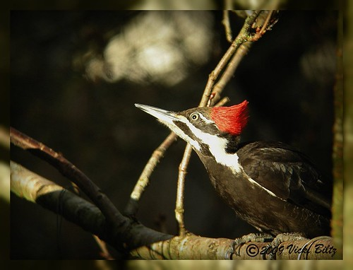 Pileated Woodpecker F #5