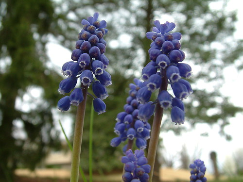 Grape Hyacinth 3