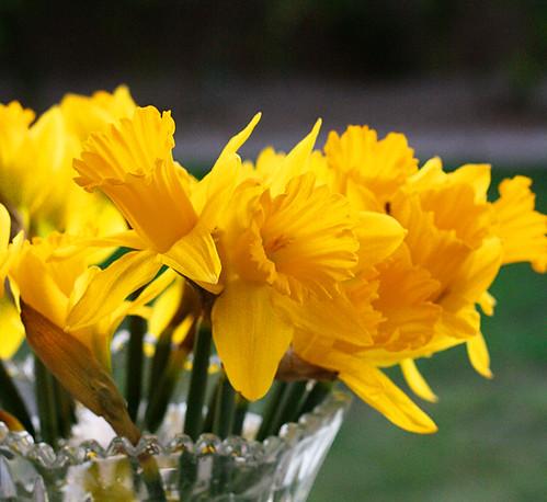 daffodilyellow