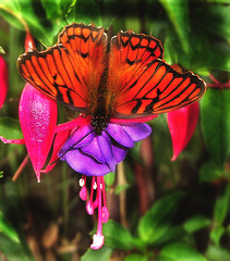 Rare butterfly In the Andes (ingridgott.(On and Off *`*,) Tags: trip travel flower nature butterfly spring flor tropical andes mariposa rare entimology entomologo goldstaraward