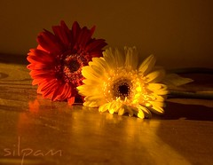 back home (silpam) Tags: red flower home yellow sunday gerbera myeverydaylife