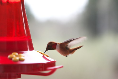Rufus Hummingbird 04.06.09