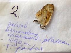 NW148-2 Telenassa fontus (nymsysgro) Tags: surinam nymphalidae nymphalinae melitaeini phyciodina telenassa fontus