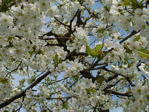 Easter Sakura - 復活祭桜 -  イースター桜